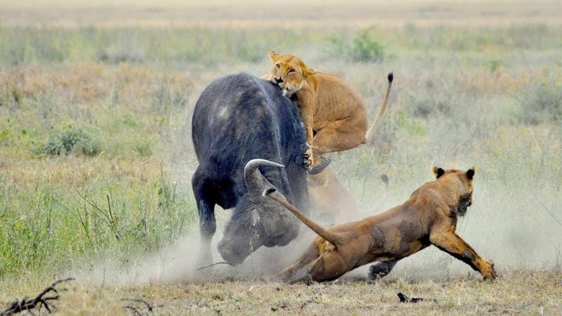 БЫКИ В ДЕЛЕ! Версус Носорога Быка Буйвола Яка Барана Антилопы и др. рогатых