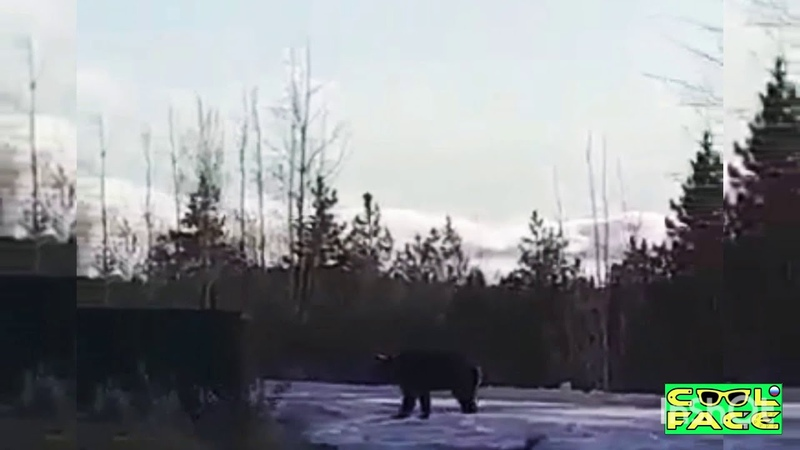 Медведь лезет в жилой дом на окрайне деревни Ноябрь 2020 Нашествие медведей