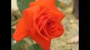 Обрезка плетистых роз, видео 1, в форме большого куста, питомник роз Полины Козловой