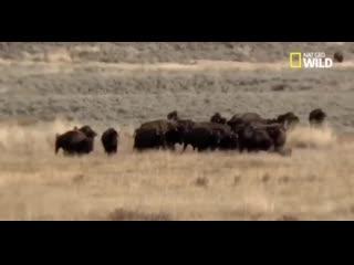 Олень пытался спрятаться у бизонов.