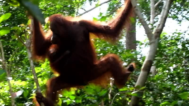 Индонезия Калимантан Орангутан с детёнышем пробираются по джунглям