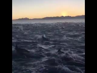 Тысячи дельфинов возле Шпицбергена