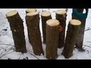 Опенок зимний Фламмулина Выращивание Эксперимент
