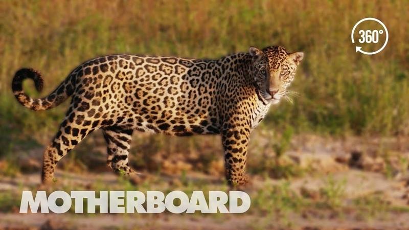 Исчезающие дикие ягуары Бразилии