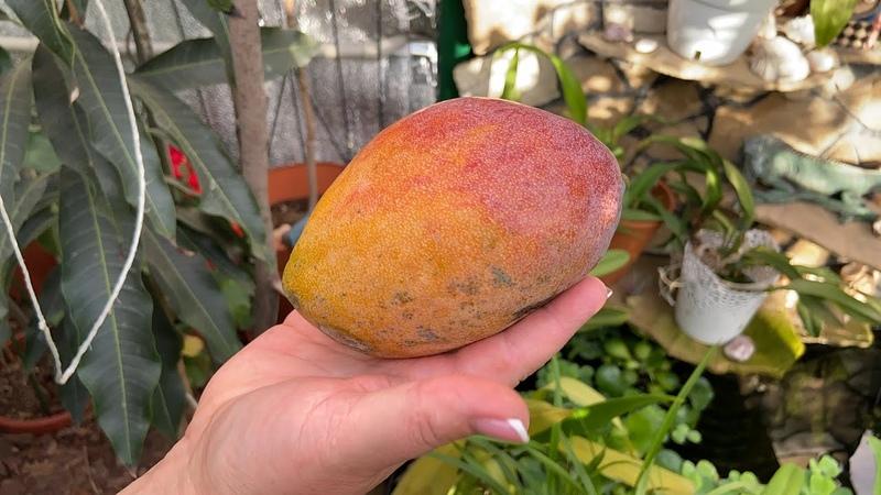 Чем обработать манго после получения и в целях профилактики новый состав грунта Карамболь