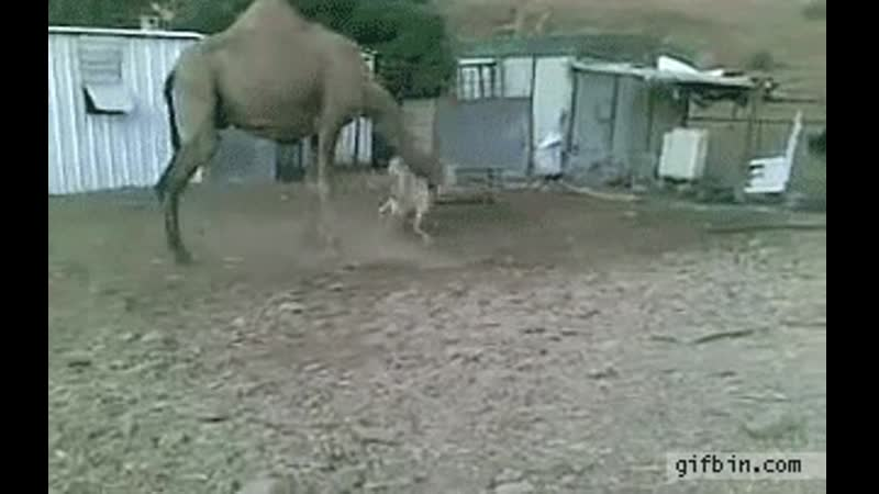 Sheep vs camel