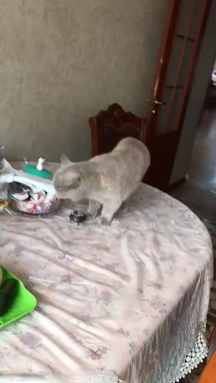 Британская кошка EVA Plush Blue Ray.