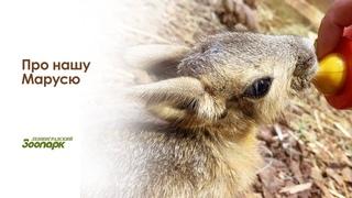 Спасение детёныша патагонской мары/Интервью с ветеринарным врачом зоопарка