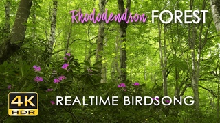 4K HDR Rhododendron Forest - REALTIME Birdsong - 8 Hours NO LOOP Bird Sounds - Relaxing Nature Video