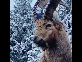 Альпийский горный козёл или ибекс.В среднем ибекс достигает длины до 150 см и роста в холк.mp4