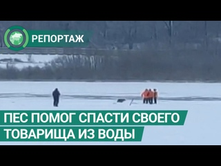 Пес помог спасти своего четвероногого товарища из ледяной реки. ФАН-ТВ