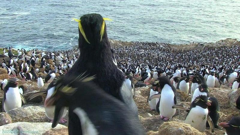 BBC Пингвин Шпион под прикрытием 1 серия Документальный природа животные 2013