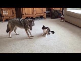 Волчица играет с кошкой. И наоборот