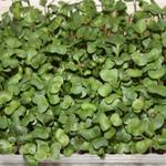 Дайкон Семена для выращивания микрозелени