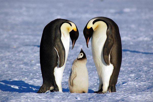 Можете определить, кто здесь папа, а кто мама? Я, конечно, не орнитолог, но внешне они совершенно одинаковы!