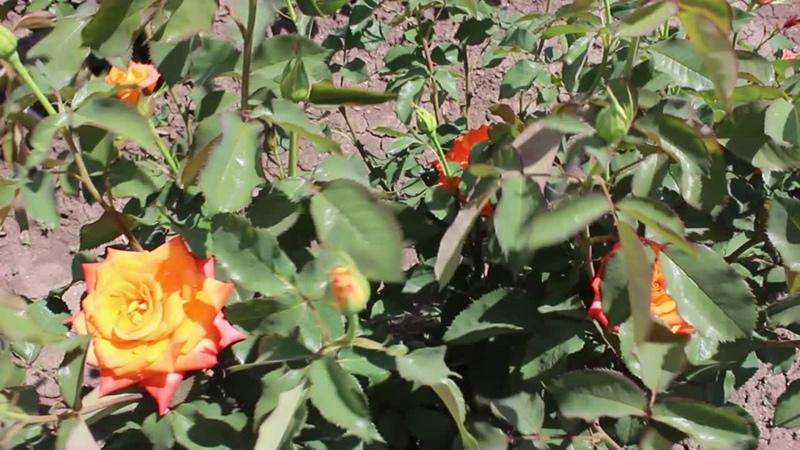 Наши красавицы розы обожаю