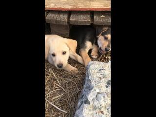 10 щенкам близким фенотипа лабрадоров нужен дом и ...