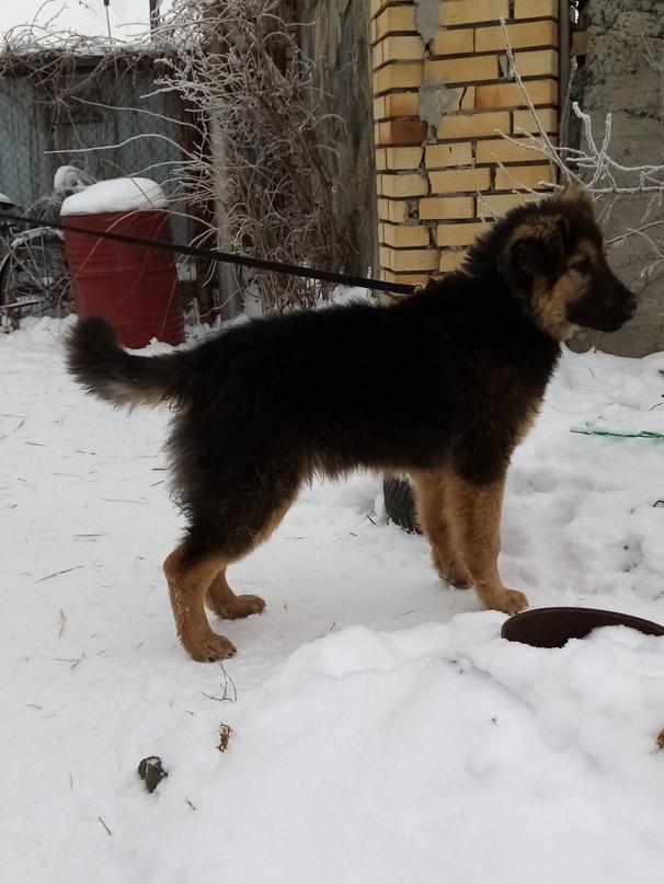 Найдена собака, метис овчарки, кобель, | Объявления Орска и Новотроицка №12761