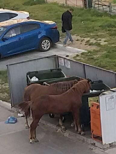 И в Нижневартовске лошадки обедают из помоек. Не т...