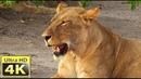 Afrika Okavango Delta Sony Amazing 4k video Ultra HD