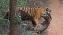 Бенгальский Тигр ! Тигр против Медведя, Собаки, Крокодила, Буйвола. Царь дикой природы.