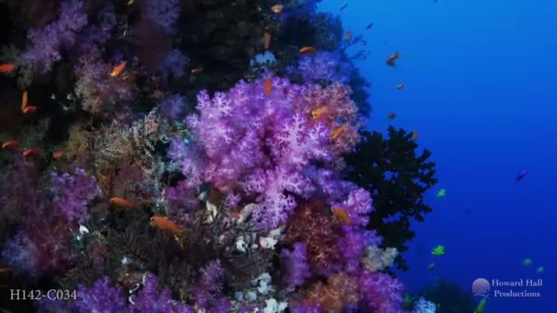 Wild Window Coral Kingdoms
