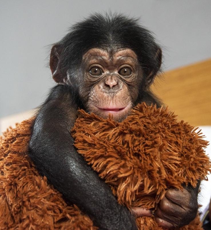 Беби-бум в зоопарке Крымского отеля продолжается: на свет появился четвёртый детёныш шимпанзе