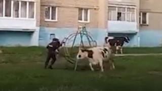 Стадо коров атаковало жилой двор — Москва 24