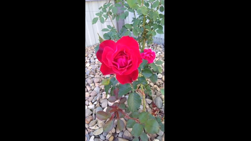 Плетистая роза первый год