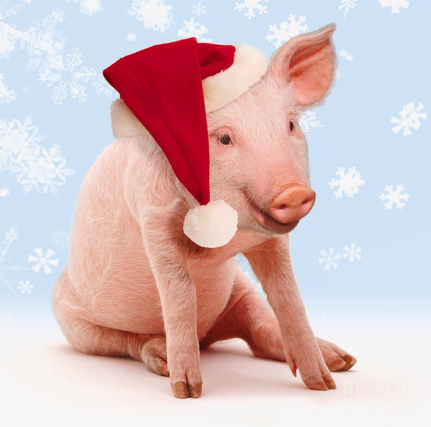 можно фото свиней поздравления целебным свойствам